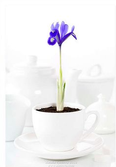 I like this image because it is unusual because of the flower growing out of a cup but also because of the contrasting colours of the blue petals and green stem against the pure white background and tea set. High Key Photography, Still Life Photography, Color Photography, Photography Ideas, Pure White Background, Line Photo, Camera World, Still Life Photos, Growing Flowers