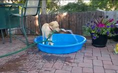 Smarty Paws Lab Ingeniously Tries To Fill Up Her Pool All By Herself.  (Short video included)