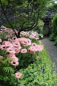 Pink poppies in an overgrown garden with stone wall and slatted gate. A secret garden Pink Poppies, Pink Flowers, Poppy Flowers, Art Flowers, Exotic Flowers, Pink Roses, Garden Cottage, Tuscan Garden, My Secret Garden
