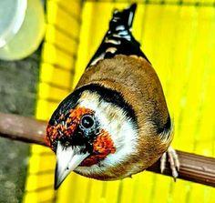 woooow une vraie beauté  😍 واوووو حقا جميل https://www.youtube.com/+bilelseg https://www.facebook.com/ChardonneretBilelKios/ https://www.instagram.com/bilelkios/ #الحسون #المقنين #القرديل #Chardonnerert #Canari #Mulet #MuletOiseau #Oiseau #Birds #Animaux #Goldfinch #Jilguero #Cardellino #καρδερίνα #Sakakuşu #Chien #Chat #Pigeon #Cheval #Science #Reptile #Poisson #Plantes #Hibiscus #Alger #Algérie #Tunisie #Maroc #ChardonneretGolden #BilelKios