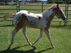 Tys Dual Image 2013 APHA/PtHA Sorrel Tovero Colt By: AQHA/NFQHA 92% Watch Tys Little Joe Out of: APHA Classyfancygoodfriday