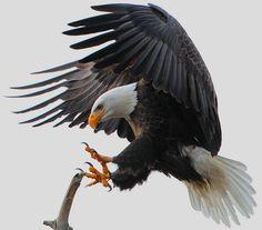 Eagle landing on branch!