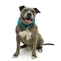 Pet Card The Coolest Pitbulls Pitbull Terrier Pets