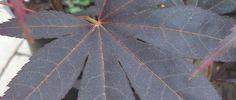 Acer palmatum 'Bloodgood' : 10 mètres de haut pour presque autant en largeur à taille adulte avec un port érigé. Il fait partie des érables palmés les plus grands. Il a un feuillage pourpre dès le printemps qui reste foncé tout l'été et virent au rouge écarlate quand vient l'automne. Privilégiez une exposition assez ensoleillée sans dessèchement du sol en été.