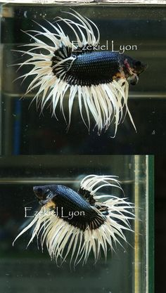 fwbettasct1389796008 - Black Copper BF King Crowntail <Magnificent!>