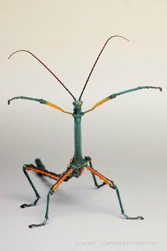 Achrioptera fallax | Achrioptera fallax male: Photo by Photographer Igor Siwanowicz - photo ...