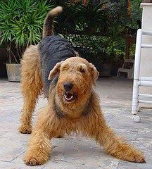 Mira las razas de perros medianos que tienes que ver   Educa a tu Perro Con Brandom