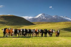 Inquisitive cattle on farmland beneath Mt Ruapehu, near Tangiwai. Photo / Sarah Sisson