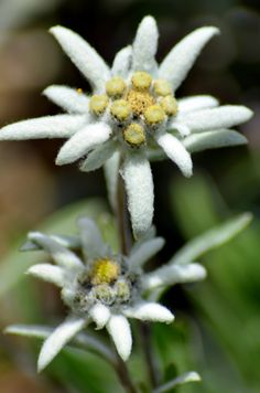 Alpine Flowers, Exotic Flowers, White Flowers, Beautiful Flowers, Edelweiss Tattoo, Gum Paste Flowers, Trees To Plant, Outdoor Gardens, Flower Power