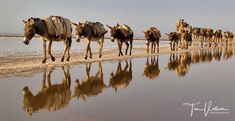 Camel caravan carrying salt Ethiopia - Danakil Desert.. join us on our next photo tour in March to Ethiopia. http://ift.tt/2EHWC5t