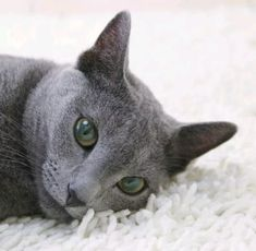 Beautiful Kittens, Cute Cats And Kittens, I Love Cats, Big Cats, Gato Munchkin, Gatos Cat, Grey Cats, Cat Breeds, Cat Lovers