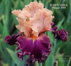 (Robert Skaggs 2014) Tall bearded iris, 38 (97 cm), M. HM 2016. Flower: S. and style arms pink, gold edge; F. maroon; beards tangerine; slight sweet fragrance; heavily ruffled. Sdlg. 919: 612: (Starri