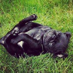 Cute. Funny. Pug. Black.