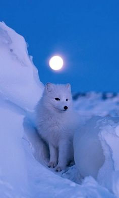 Before dawn, a brilliant full moon illuminates the snowy landscape of Churchill, Manitoba, Canada, home to an arctic fox. The fox's coat changes color with the seasons; as the snow melts it begins to turn grayish brown. Cute Baby Animals, Animals And Pets, Beautiful Creatures, Animals Beautiful, Arctic Fox, White Fox, Tier Fotos, Wild Dogs, Animal Photography