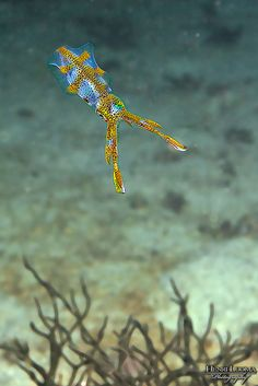 Squid mimicking a peace of sea weed! How they know how to do this is beyond me.