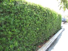 Podocarpus is sometimes called the aristocrat of hedges because of its dense leaf structure and shaping ability. Although it does not bloom, it provides constant new-looking thick green color to add fullness to any South Florida landscape.