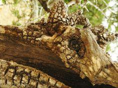 Arganier-03 -    Très étrange arganier ! Est-ce vraiment un tronc ou un crâne (de bélier par exemple...)? Very strange argan tree ! Is it really trunk, or skul...