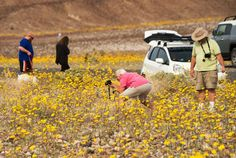 """Death Valley National ParkVisitors take photos of wildflowers in Death Valley National Park, in Death Valley, California, March 3, 2016. Unusally heavy rainfall in October trigged a """"super bloom,"""" carpeting Death Valley National Park, the hottest and driest place in North America, in gold, purple, white and pink. The bloom is the parks largest in a decade. Photo: ROBYN BECK/AFP/Getty Images"""