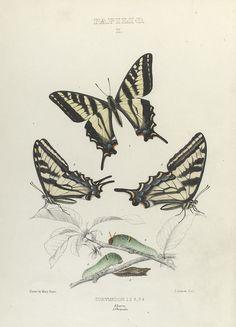 Papilio I. 1-3. Eurymedon; 4. Larva; 5. Chrysalis.