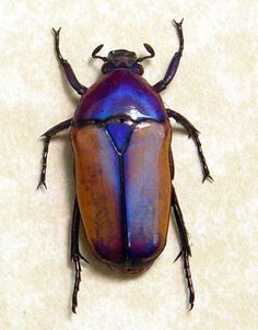 Chlorocara Africana Beetle Real Rare Purple by REALBUTTERFLYGIFTS,