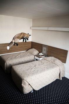 Funny Animals, Cute Animals, Unique Animals, Wild Animals, Sneak Attack, Hotel Bed, Pet Fox, Creative Inspiration, Beautiful Creatures