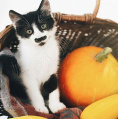 Can cats eat pumpkin seeds? You might be asking this while snacking on some pumpkin seeds and getting into the festive spirit of the fall holidays, and maybe you noticed that your cat seems interested in chowing down on some pumpkin seeds too. Can Cats Eat Pumpkin, Cat Facts, Seeds, Canning, Black And White, Fall, Festive, Contrast, Spirit