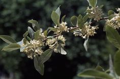 Thorny Elaeagnus - The South's Best Fragrant Plants for Your Garden  - Southernliving. This evergreen shrub has a rather rigid, sprawling, angular habit. Long, naked shoots, some of them 56 ft. long, tend to skyrocket off in all directions, creating a Medusa-like appearance. Fortunately, these shoots can be pruned away (flower arrangers prize them) to give the shrub a neater look; it also can be sheared into a nice hedge. Small, fragrant, cream-colored blossoms appear in fall. Nitrogen Fixing Plants, Pond Landscaping, Garden Shrubs, Evergreen Shrubs, Floral Style, Hedges, Daffodils, Vegetable Garden, Hydrangea