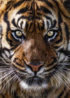 ~~Stunning Sumatran Tiger by bigcatphotos UK~~