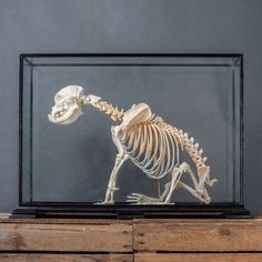 Articulated French bulldog skeleton