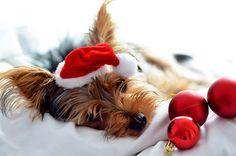 Daisy the Christmas doggie