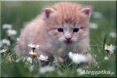Kocięta Syberyjskie