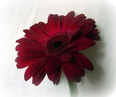 Burgundy Gerbera daisies for burgundy wedding scheme.  Gerbera's are my wedding flowers! :)