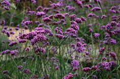 Verbena bonariensis mass planting