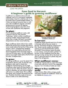 How to grow cauliflower from seed to harvest. Cauliflower growing guide from beginners to advanced gardeners. Growing cauliflower from seed is easy and delicious. Allotment Gardening, Backyard Vegetable Gardens, Container Gardening Vegetables, Greenhouse Gardening, Pergola Planter, Growing Cauliflower, Growing Green Beans, Urban Farmer, Growing Gardens