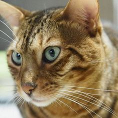 #猫 #ねこ #ねこ部 #ねこすたぐらむ #ネコ #にゃんこ #にゃんすたぐらむ #ニャンコ #ベンガル #愛猫 #オリンパスペン #cat #catsofinstagram #neko #nekostagram #bengal #lovecat #inst acat #catworldwide #olympus