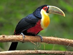 brazil sealife | Red Breasted Toucan Pantanal Mato Grosso Brazil - Free Wallpaper Point ...