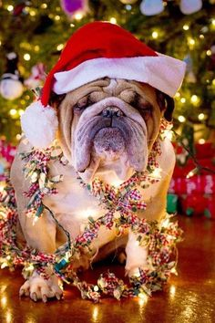 """""""Woof woof, I have a dream....plse, release me of all those lights and silly Santa Claus hat""""!?! :)"""