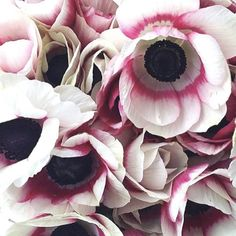 Anemone Mistral Bicolore Mistral Anemones have been recently imported from Italy and they are truly magnificent. Bred for pots and gardens, these floriferous pl