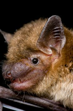 North American Big Brown Bat