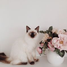 Our Louis is such a character! He likes to hop right in the shower with us at the moment, he is not afraid of the water! And he loves roses and lace too…he has good taste.  #mycatkinglouis #ragdoll #vscocam