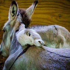 Baby donkey and mother