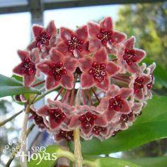 Hoya globulifera Plant