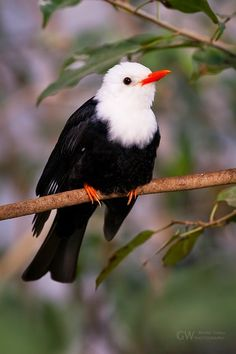 White-headed Black Bulbul is a morph of the nominate race. The bulbul is found in southern Asia from India east to southern China. Kinds Of Birds, All Birds, Little Birds, Love Birds, Angry Birds, Pretty Birds, Beautiful Birds, Animals Beautiful, Simply Beautiful