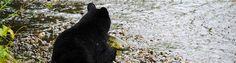 Elokuussa Alaskassa on lohennousu ja myös karhut tulevat lähemmäksi ihmisiä. Pääsimme ihastelemaan mustakarhuja Alaskan Juneaussa. Muutenkin Juneau oli kerrassaan upea matkakohde täynnä luontoelämy… Black Bear, Alaska, Animals, Animales, American Black Bear, Animaux, Animal Memes, Animal, Animais
