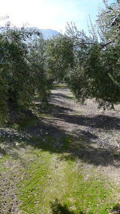 Principios de enero. Muchas aceitunas ya se han recogido, pero otras tantas todavía cuelgan de los olivos.