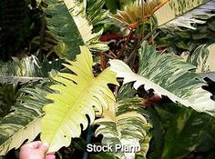 Philodendron 'Ring of Fire'