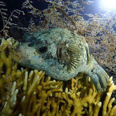 Pez globo enmascarado (Masked puffer)  #nofilter #nightdive #scubadive #puffer #night #lights #rasmohamed #egypt #redsea #marrojo #underwaterphotography #sealife #animals #fotaca #pezglobo #durmiendo #instagram #sea #instagood #summer