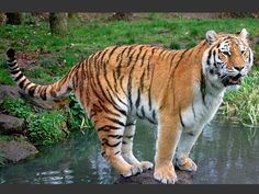 Tiger Sanctuaries in Madhya Pradesh, India @ Sanctuariesindia.com