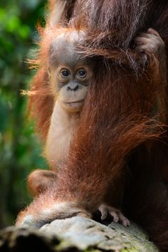 Photo by Gita Defoe for Photographers Without Borders. You can see more from this project in the issue of our magazine! Sumatran Orangutan, Orangutans, Animal Babies, Baby Animals, Baboon, Save The Planet, Adorable Animals, Habitats, Photographers