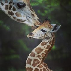 Una jirafa adulta acaricia a su cría de 34 días de nacida en el zoológico de Alipore en Calcuta, India. Foto: EFE